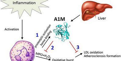 Identifying Atherosclerosis Atherosclerosis arteriosus usually does